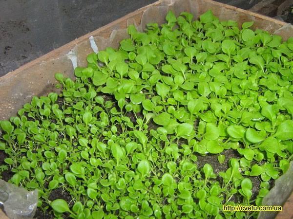 Посадка петунии семенами на рассаду в домашних условиях