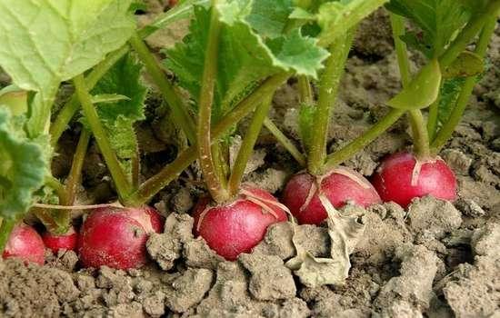 Почему редис уходит в стрелку, не завязывая корнеплод?