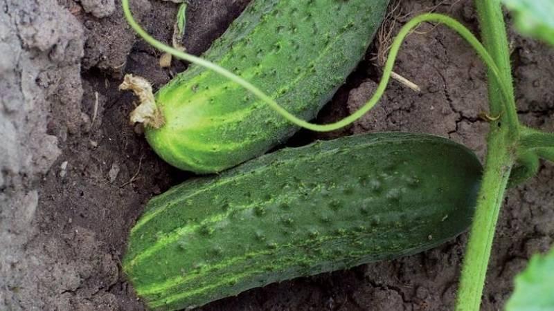 Какая почва нужна для чеснока озимого