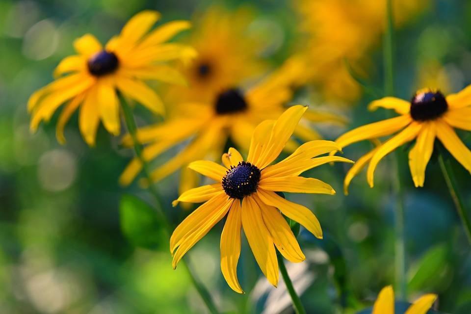 Рудбекия: виды и выращивание растения