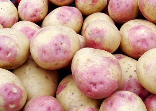 Картофель пикассо сорт. описание и характеристика сорта картофеля пикассо, урожайность, отзывы, фото