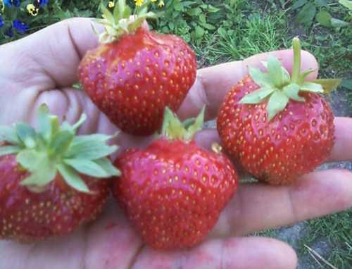 Клубника сорт золушка: волшебная полянка в вашем саду