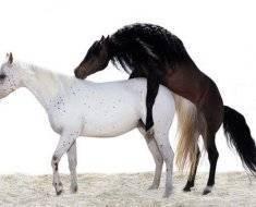 Как спариваются лошади и что важно знать