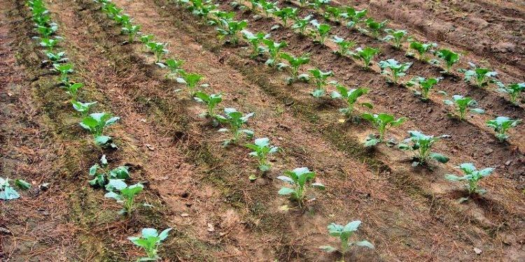Когда сажать цветную капусту в 2020 году по лунному календарю?