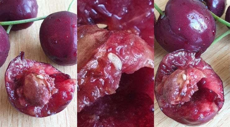 Все про обработку вишни от насекомых и болезней