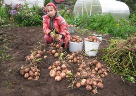 Картофель хозяюшка: описание и характеристика, агротехника посадки и ухода