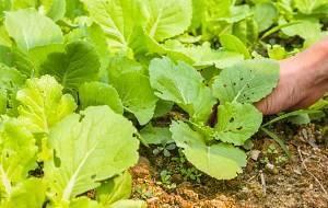 Как вырастить пекинскую капусту из семян?