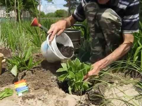 Хоста: посадка, выращивание и уход в открытом грунте