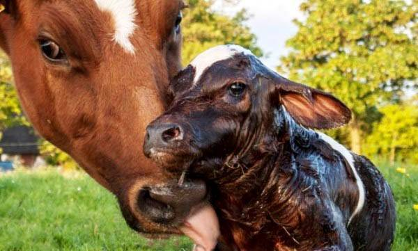 Беременность у коров
