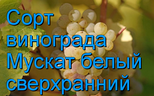"""Виноград """"плевен мускатный"""": описание сорта, фото, регионы выращивания, сроки сбора урожая, характеристики"""