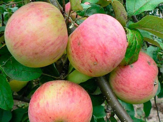 Медовое яблоко