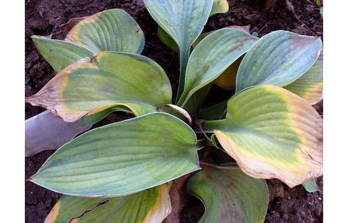 Почему и что делать, если у хосты желтеют и сохнут листья (лечение болезней)