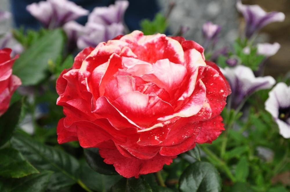 Роза антик (antike 89) — что это за лазящий сорт