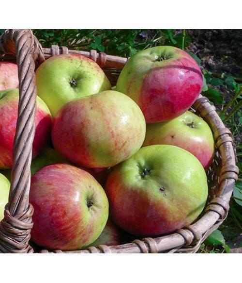 Синап орловский — сладкие свежие яблоки всю зиму!