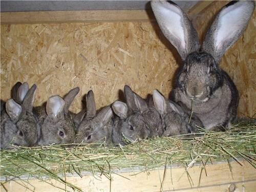 Разведение кроликов в домашних условиях для начинающих: советы, видео