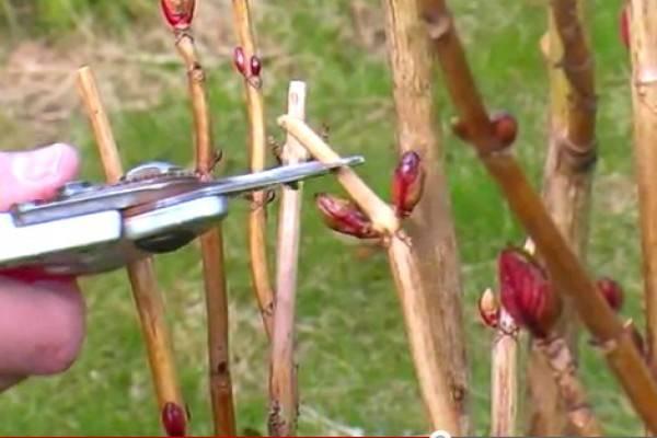 Тонкости обрезки гортензии, в том числе для метельчатого и других видов