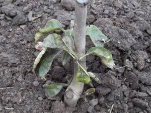 Как укрыть грушу на зиму? особенности укрытия молодых и старых груш на зиму