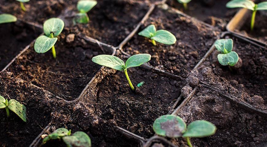 Как вырастить крепкую рассаду огурцов в домашних условиях? от подготовки семян до ухода после прорастания