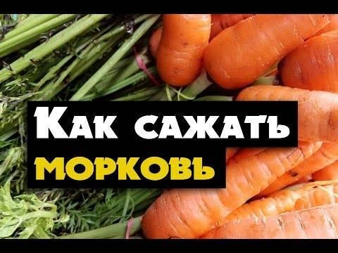 Сроки для моркови: когда можно сеять семена в открытый грунт?
