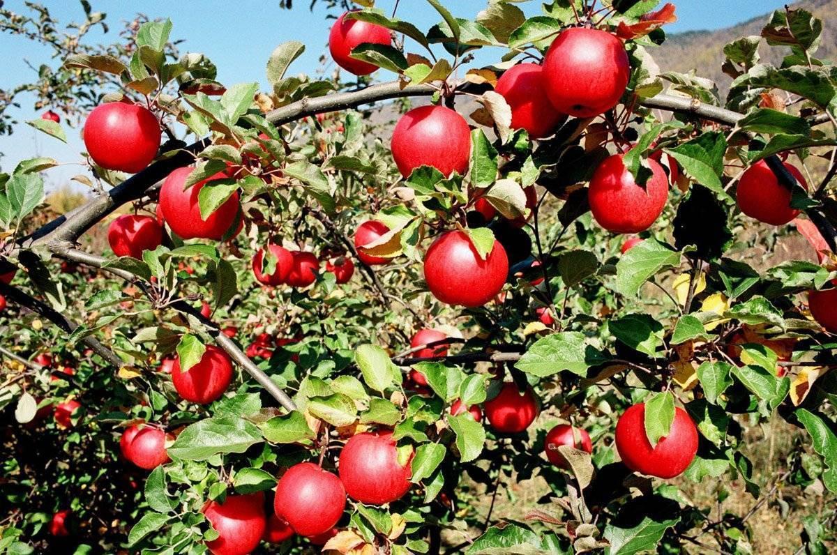 Яблоня апорт кроваво-красный: описание сорта и фото