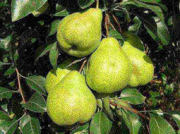 Сорта груш для северо запада описание сортов