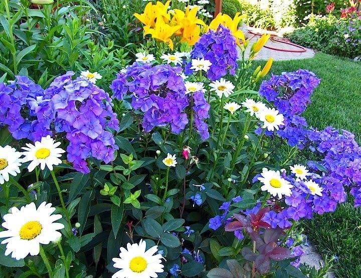 Флокс «блю парадайз» (36 фото): описание, выращивание метельчатого сорта, особенности размножения
