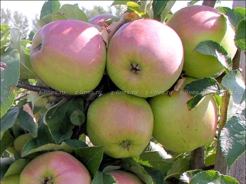 Яблоня вишневое: описание сорта, фото, отзывы садоводов