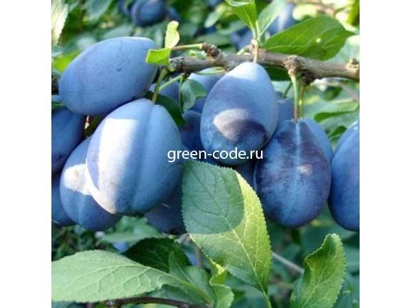 Слива этюд: описание сорта, правила посадки и ухода за плодовым деревом