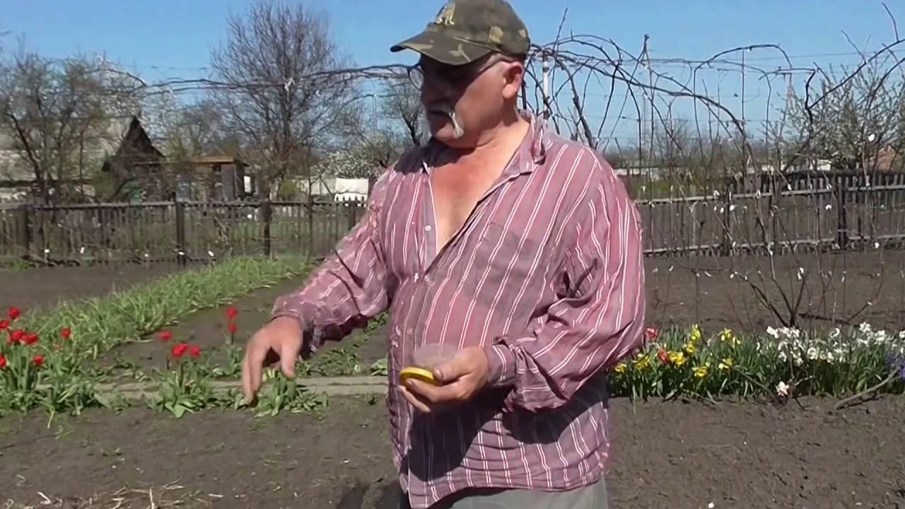 Когда сажать редиску весной в открытый грунт: боится ли заморозков, в какой срок и как правильно можно сеять семенами в подмосковье и других областях?