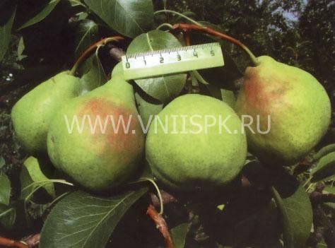 Августовская роса - сорт груши, описание, отзывы, фото