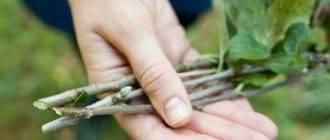 Грушевый сад — когда и как сажать, чем размножать и что делать, если нужно пересадить грушу