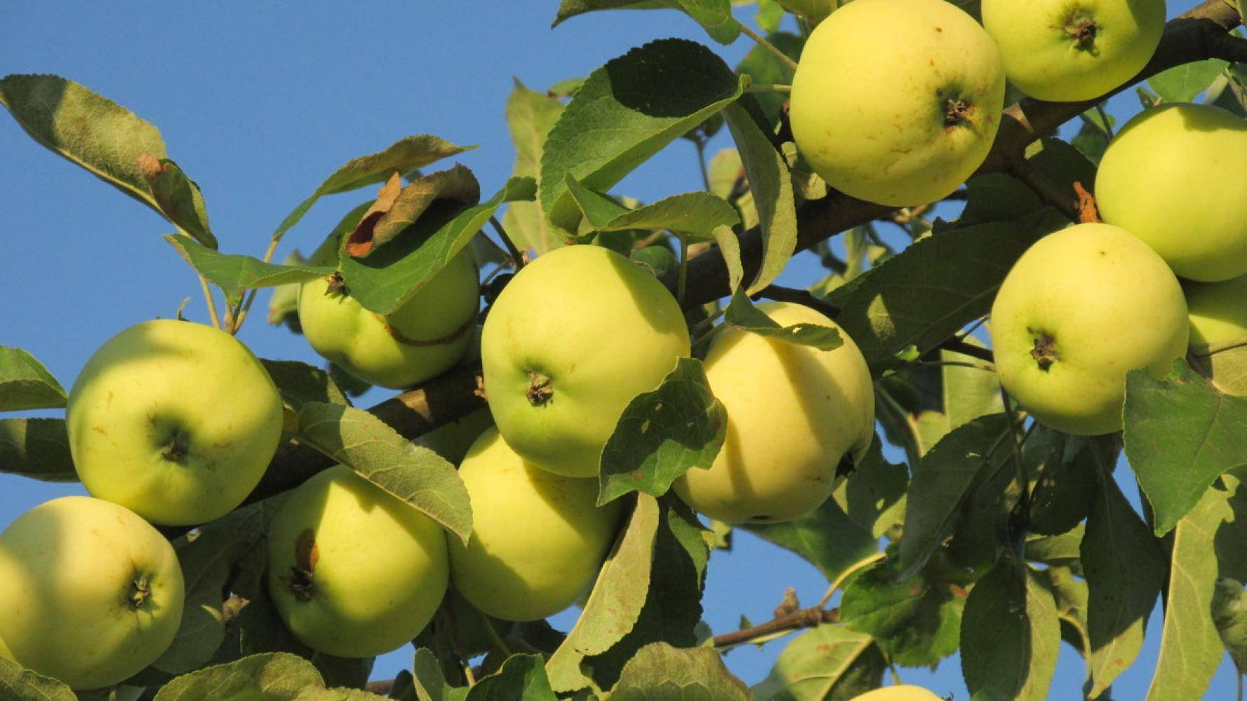 """Яблоня """"белый налив"""": характеристика сорта, правила посадки и ухода"""