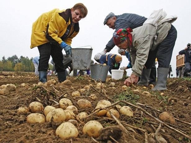 К чему снится копать картошку во сне женщины - сонник и толкование