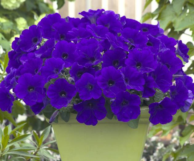 Петуния: виды, уход и выращивание в домашних условиях. болезни и вредители цветка. как прорастить цветок из семян?