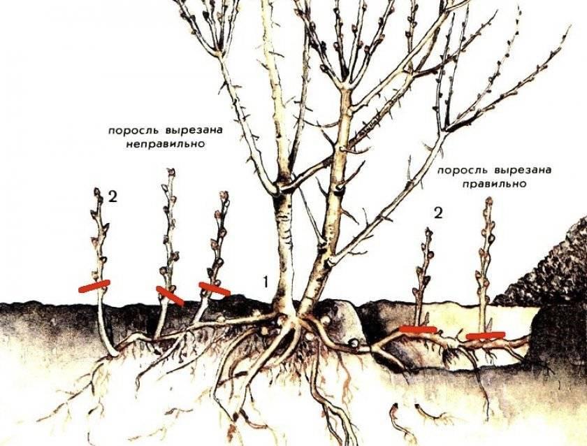 Как избавиться от поросли вишни на участке: способы борьбы и советы чем вывести поросль. обзор самых эффективных методов (120 фото + видео)