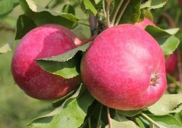 Яблоня 'веньяминовское' — википедия