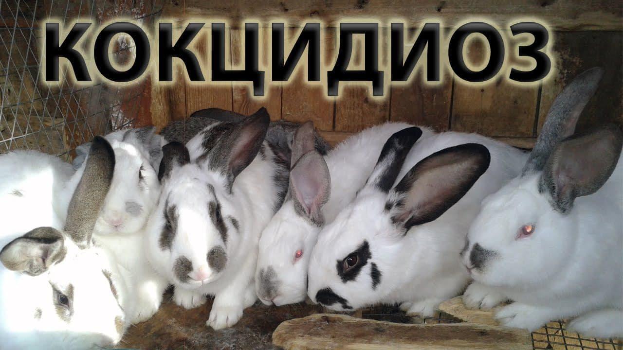 Кокцидиоз у кроликов: симптомы и лечение, видео