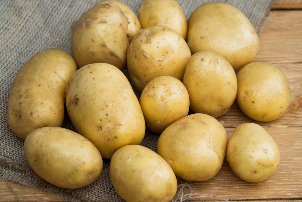 сорта картофеля фото описание очень разваристый без ума нее