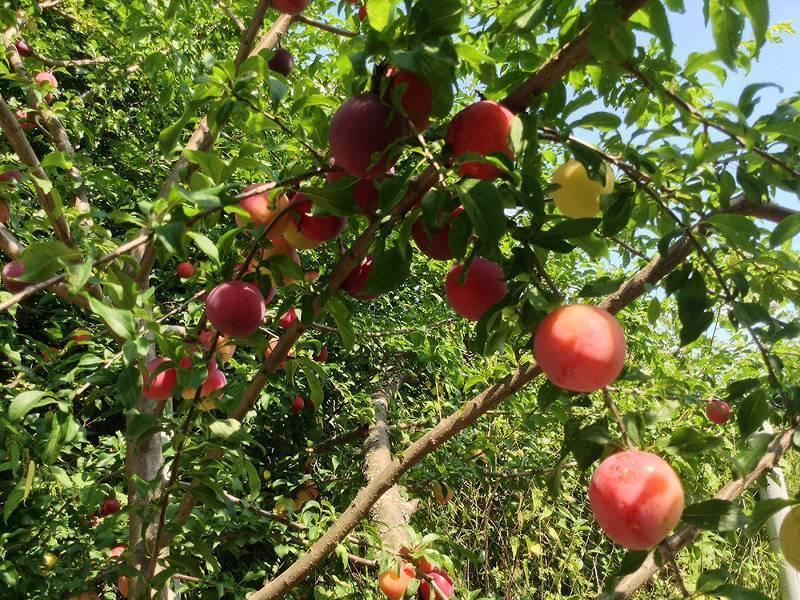 Уход за молодыми вишнями – как повысить урожай в 1,5-2 раза