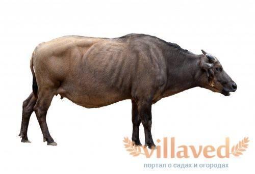Кто такие целебесские карликовые буйволы