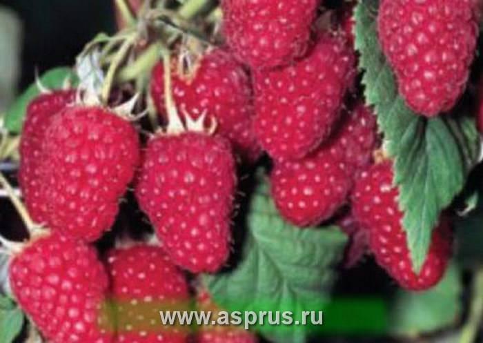 Среднезрелая малина сорта генералиссимус: посадка, уход, урожайность