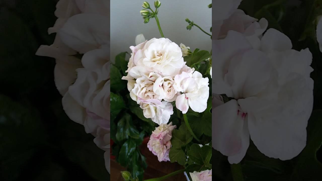 Вива каролина пеларгония