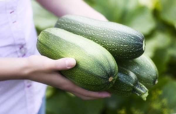 Первый огород для ребенка. как вырастить кабачок. как ухаживать за кабачками