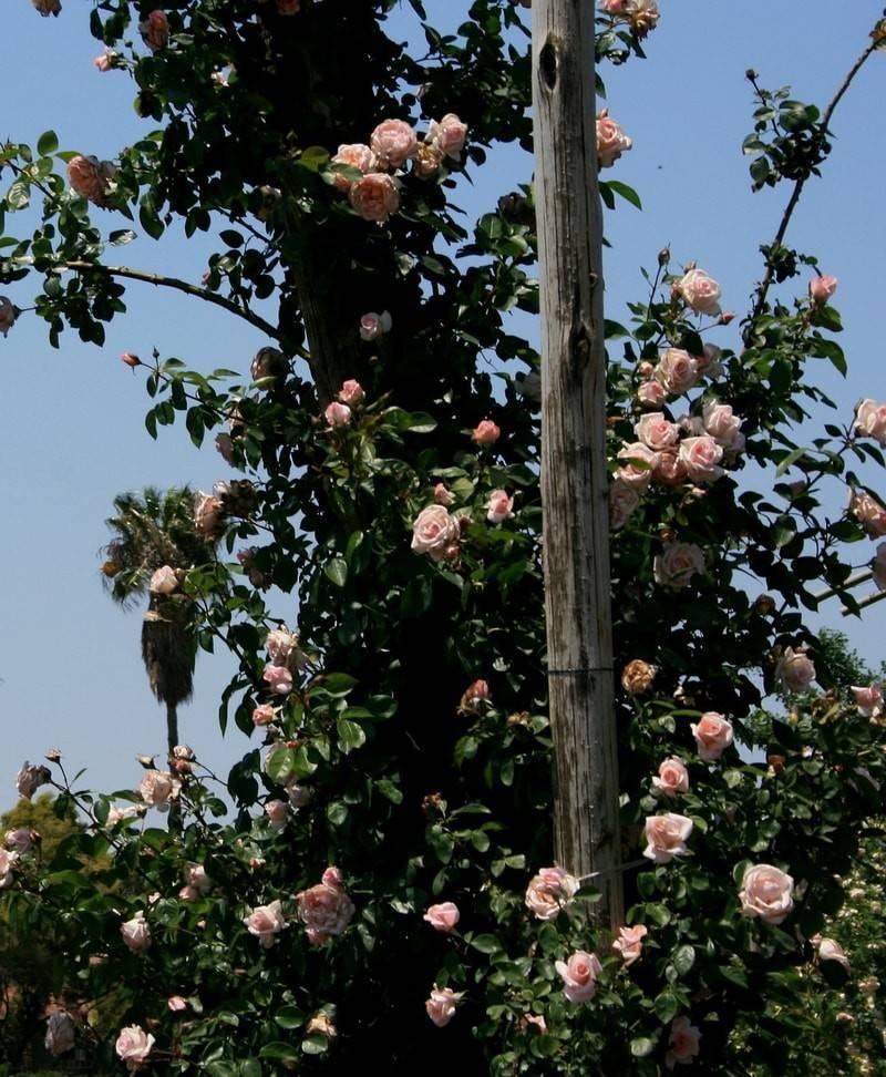 Какие сорта относятся к розам клаймберы