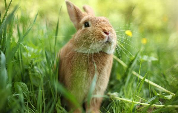 Чем и как правильно кормить декоративного кролика в домашних условиях