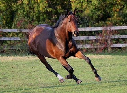 Чистокровная верховая лошадь — википедия. что такое чистокровная верховая лошадь