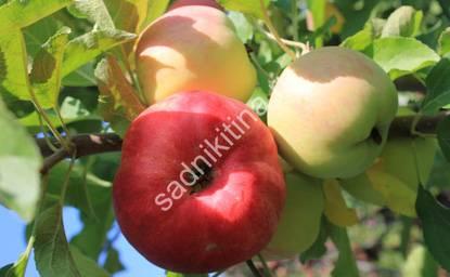 Как правильно сажать колоновидные яблони. посадка саженцев колоновидной яблони