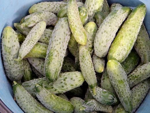 Как получить урожай огурцов на 2-3 недели раньше срока