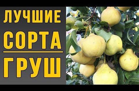 Обзор сортов груши для северо-западного региона россии