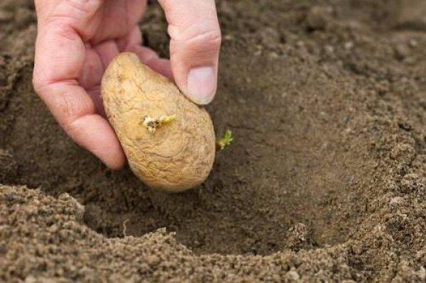 Удобрение для картофеля при посадке.